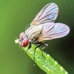 ما هي طريقة القضاء على ذبابة الفاكهة