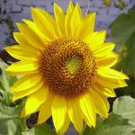مراحل نمو زهرة عباد الشمس