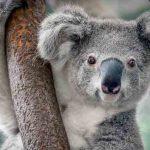 معلومات عن حيوان الكوالا للاطفال وهل الكوالا حيوان أليف؟