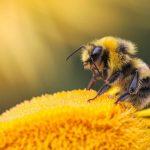 فوائد لسع النحل للاعصاب وعلاج المفاصل وتقوية المناعة العامة للجسم