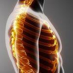 كم عدد ضلوع القفص الصدري لجسم الإنسان وما أسماء العظام الموجودة فيه