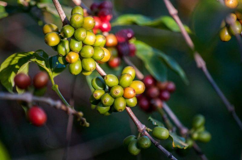 فوائد شرب القهوة الخضراء على الريق