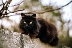 تفسير حلم القط الأسود