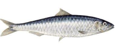 فوائد سمك السردين للجنس